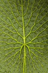 Amazonas-Riesenseerose Unterseite