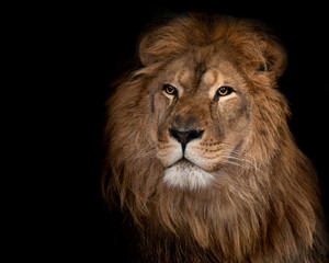lion on a black background.