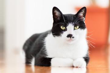 Black and white Cat posing