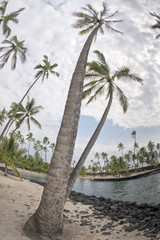 Coconut Palm Tree on tropical white sand beach