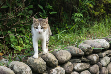 Tabby cat standing on the stone wall.