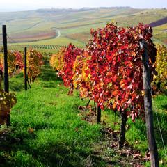 Autumn vineyards. Germany