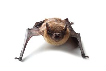 Bat isolated on white
