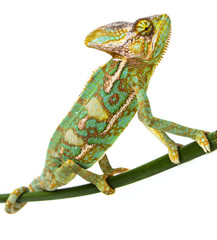 Wall Mural - green chameleon - Chamaeleo calyptratus - male on a branch