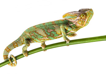 Fototapete - green chameleon - Chamaeleo calyptratus - male on a branch