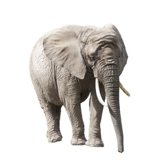 Papiers peints Elephant African elephant isolated on white with clipping path