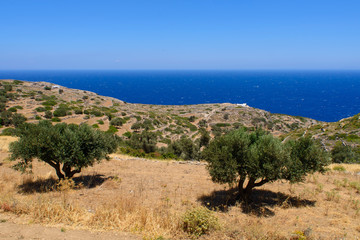 Oliviers à Sifnos