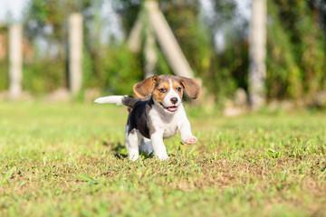 Beagle puppy running