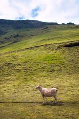 Paysage Campagne mouton brebis islandais Islande