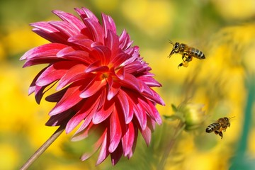 Bees in flight and Dahlia Garden (Dahlia Cav.)