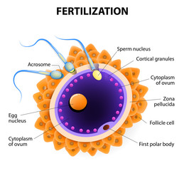 fertilization. Penetration sperm cell of the Egg