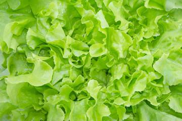 closeup Green oak leaf lettuce