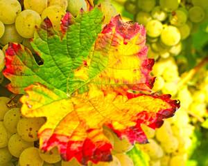 Fototapete - Herbst in der Pfalz: Weiße Trauben mit buntem Blatt :)