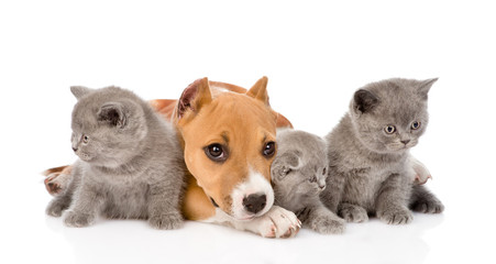 stafford puppy and three kittens lying together. isolated on whi