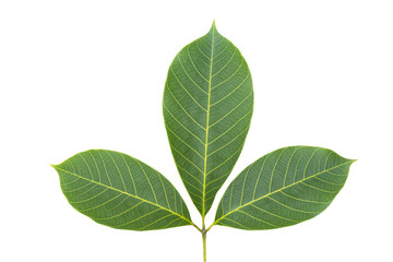 Rubber leaf isolated with clipping path