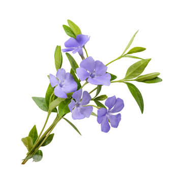 Periwinkle, Vinca minor isolated on white background