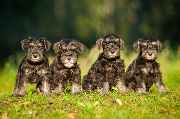 Miniature schnauzer puppies sitting on the lawn