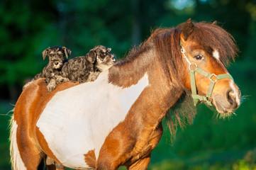 Fototapete - Miniature schnauzer puppies riding little pony