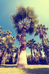 Palm tree in beautiful garden vintage toning