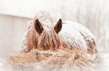 Wall Mural - Horse on snowy winter day