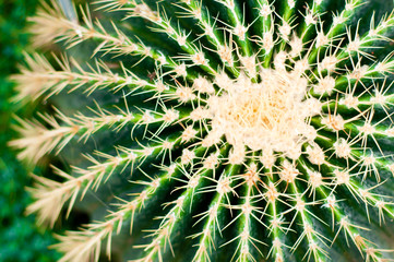 Cactus close-up. Succulent plant detail.