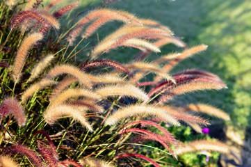 Fountain grass.