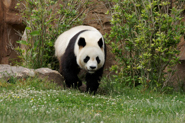 Poster Panda panda-10