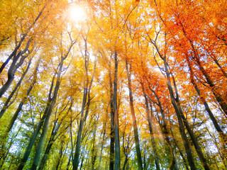 Wall Mural - Farbexplosion im Herbstwald mit Sonnenlicht