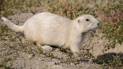 White Prairie Dog