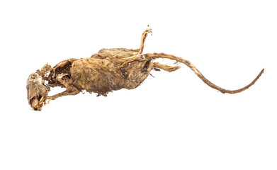 Dried dead body of rat