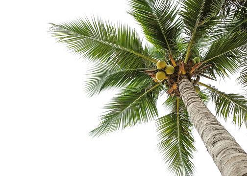 coconut tree on white