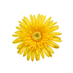 Yellow Flower Isolated on white Background