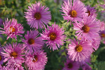 violet chrysanthemums