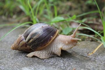 Escargot géant