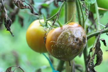 peronospora del pomodoro_ malattia della pianta