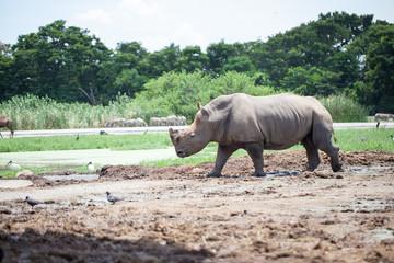 A White Rhinoceros calf in zoo