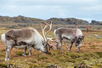 Wild Arctic reindeers prepared to shed their antlers.