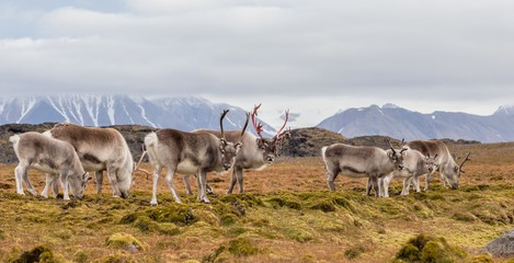 Photo sur Aluminium Pôle Herd of wild reindeers