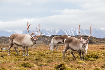 Herd of wild reindeer in Arctic tundra