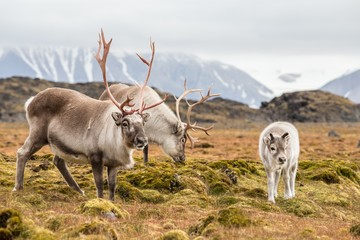 Photo sur Plexiglas Pôle WIld reindeer family