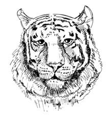 Artwork tiger, sketch black and white drawing