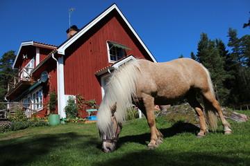 Fototapete - Islandpferd vor Schwedenhaus