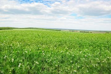 Wall Mural - Pea field and blue sky
