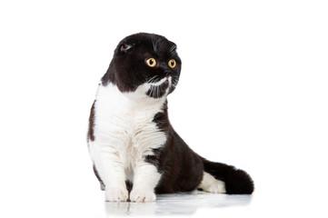 Black and white scottish fold cat