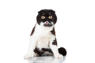 Funny black and white scottish fold cat with big eyes