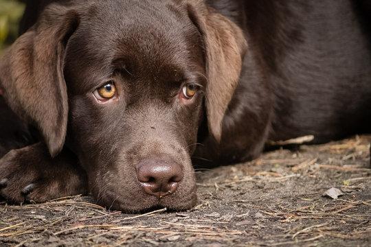 Cute lonely brown labrador puppy