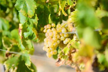 white ripe grapes on vine vineyard countryside ready for harvest