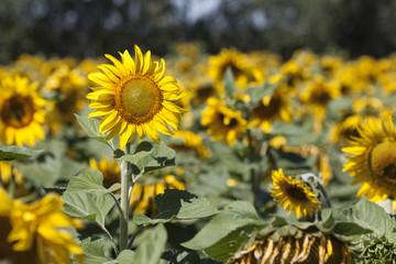 sunflower on bright background