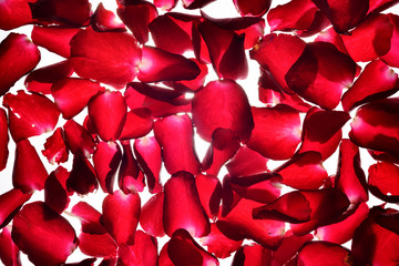 translucent red Rose petals background