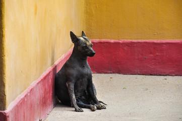 Hairless Peru Dog (Endemic), Huaca de la Luna, Peru